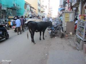 die heiligen Kühe Indiens