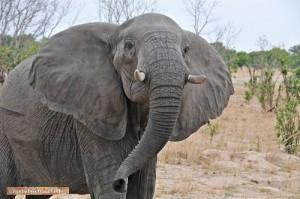 Begegnung mit einem Elefantenbullen im Hwange Nationalpark