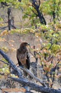 Ein Raubadler im Hwange Nationalpark