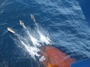 Delphine am Bug unserer Brasilien Frachtschiffreise