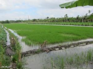 Reisanbau nahe bei Vinh Long