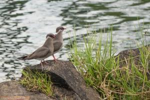 Halsband-Brachschwalben auf einer Insel im Zambezi-Fluss
