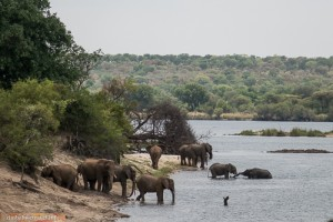 Elefantenherde beim Baden im Sambesi Nationalpark