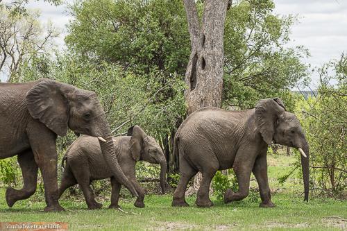 Elefanten-Familie im Sambesi Nationalpark
