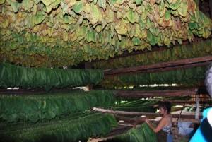 Tabak-Plantage im Vinales-Tal