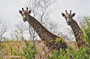 Giraffen bei einer Wandersafari beobachtet