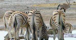 Gruppe Zebras an einer Wasserstelle im Etosha Nationalpark