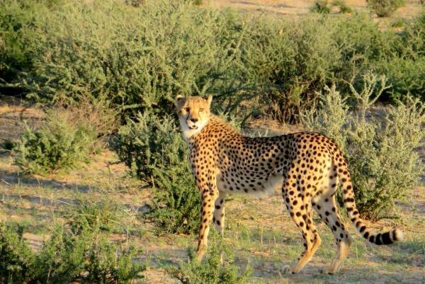 Gepardin im Kgalagadi Transfrontier Nationalpark auf der Reise Savannengras