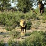 Kalahari Löwe im Kgalagadi Transfrontier Park, Botswana