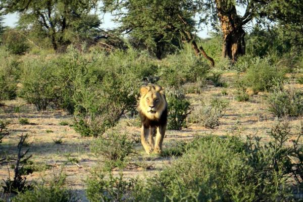 Kalahari Löwe im Kgalagadi Transfrontier Park auf der Reise Savannengras