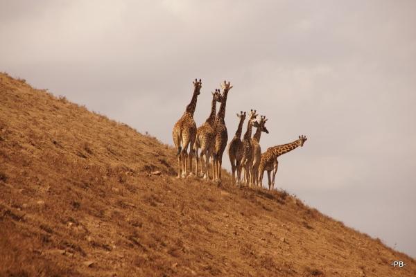 Giraffen unmittelbar an der Caldera des Ngorongoro