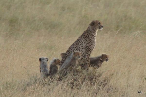 Süüüüüß! Gepardenmama mit Babies