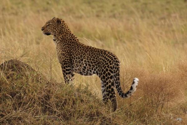 Unverhofft kommt oft: Ein Leopard