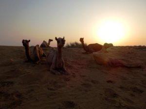 Unsere Kamel Safari