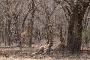Giraffen zeigen ihre hervorragende Tarnung im dichten Busch des Marakele Nationalpark