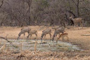 Kudus und Impala an der Wasserstelle