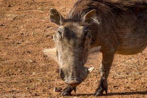 Warzenschweine und andere Tiere besuchen regelmässig den Campingplatz im Marakele Nationalpark