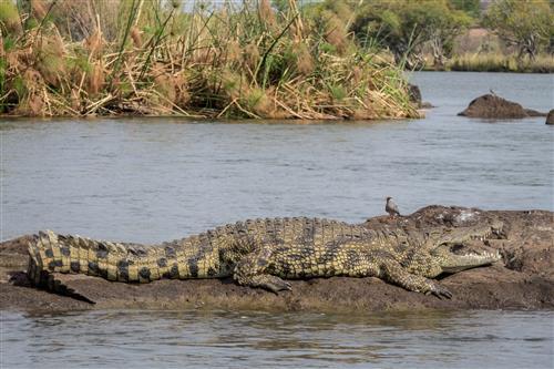 Im Chobe Nationalpark sonnt sich ein Nilkrokodil