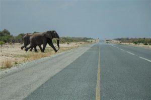 Nahe der Elephant Sands Lodge queren Elefanten die Hauptstrasse.