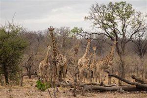 Eine Herde Giraffen beim Senyati Safari Camp, Botswana