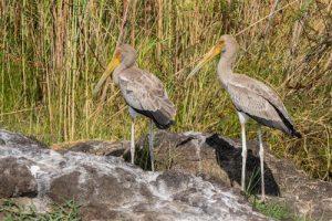 Nimmersatt Stoerche noch im jugendlichen Gefieder am Chobe Fluss in Botswana