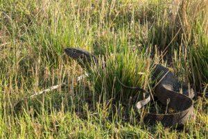 Ein Nilwaran sucht Beute im Ufer-Gras des Chobe River