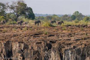 Elefanten ueberqueren die trockenen Bereiche des Sambesi