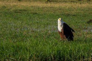 Ein Schreiseeadler auf Beutesuche im Chobe Nationalpark