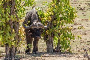 Ein Bueffelbulle kreuzt unseren Weg im Hwange National Park