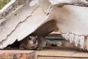 Ein Klippschliefer hat einen gemuetlichen Platz am Mandavu Dam gefunden