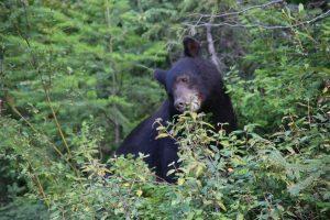 Schwarzbär im Wells Gray Provincial Park