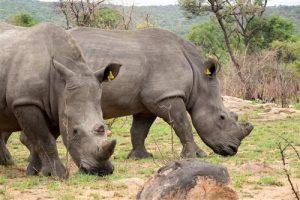 Nashoerner weiden das frische Gras im Matobo Game Park