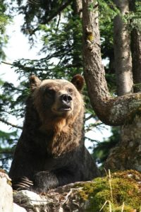 Grizzly auf Grouse Mountain