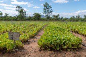 Junge Tabakpflanzen im Aussaat Beet