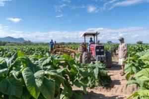 reife Tabakpflanzen auf der Suncrest Farm