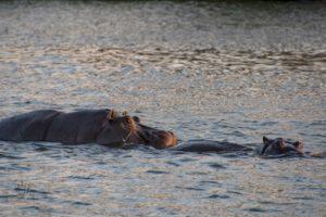 Flusspferde im Sambesi
