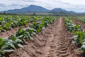 Junge Tabakpflanzen frisch gepflanzt