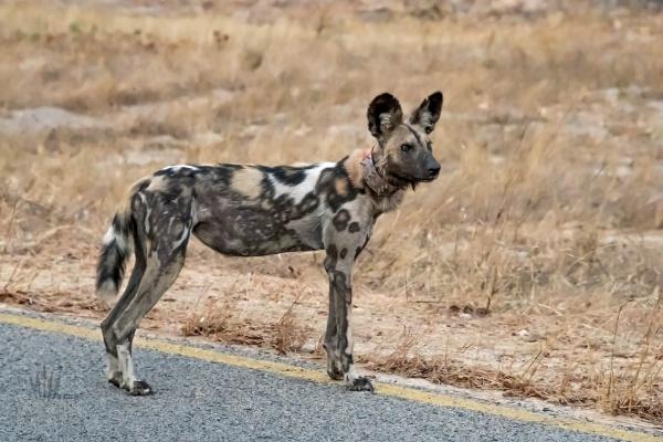 Simbabwe-Urlaubsreise, Safari im Hwange Nationalpark