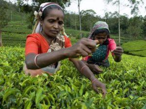Singleurlaub in Sri Lanka - Teepflückerinnen