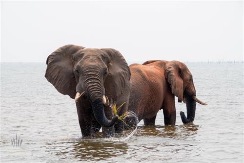 Elefantenbullen im Karibasee Simbabwe