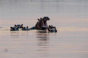 Flusspferde, Matusadona Nationalpark, Simbabwe