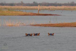 flusspferde im karibasee am matusadona nationalpark
