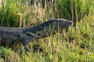 nilwaran am karibasee im matusadona nationalpark