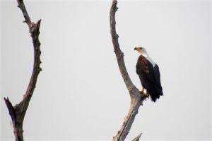 schreiseeadler matusadona nationalpark simbabwe