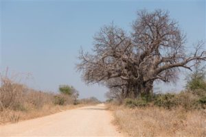 Markanter Baobab-Baum an der Piste in den Mana Pools Nationalpark