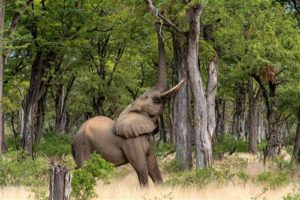Elefantenbulle in Mana Pools
