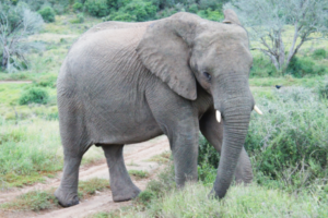 Elefant im Nationalpark in Südafrika