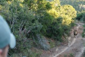 Löwen-Sichtung während einer Safari in Südafrika
